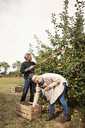 Cheerful couple picking apples in orchard - FSIF02206