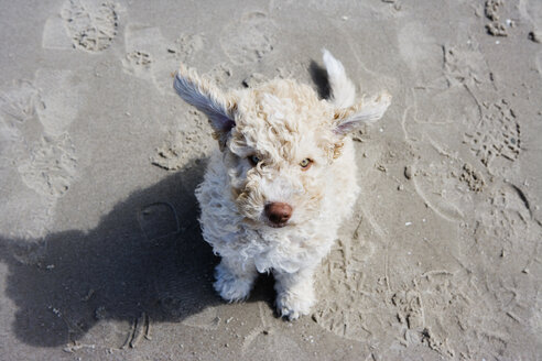 Spanish Waterdog sitting on the beach - FSIF02570