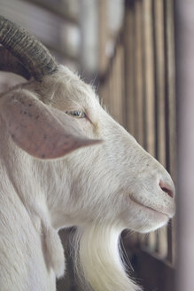 Portrait of white billy goat in stable - AFVF00127