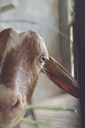 Portrait of curious goat in stable - AFVF00130