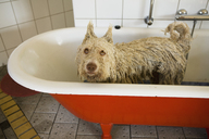 A Portuguese Waterdog in a bathtub with ears made to stand up - FSIF02710