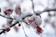 Snow-covered blossoming snowball tree, close-up - LBF01786