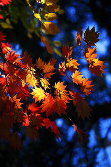 Golden autumn - JTF00915