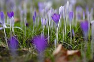 Crocuses, Crocus - JTF00921