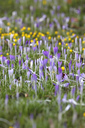 Crocus and winter aconite - JTF00923