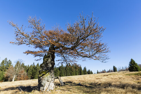 Germany, Bavaria, Lower Bavaria, Bavarian Forest National Park, Hochschachten, very old beech tree - FOF09829
