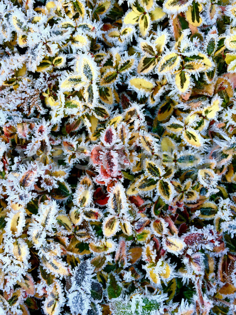 Hoarfrost, ice covered leaves - JTF00928