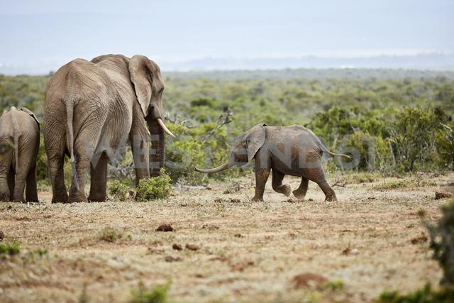 South Africa, Eastern, Cape, Addo Elephant National Park, african elephants, Loxodonta Africana - CVF00166