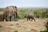 South Africa, Eastern, Cape, Addo Elephant National Park, african elephants, Loxodonta Africana - CVF00166