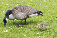 Canada goose with gosling on a meadow - FOF09891