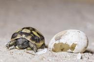 Hermann's tortoise, Testudo hermanni, hatching - FOF09897