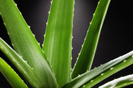 Close up of aloe plant - CAIF00398