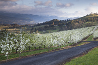 View of blooming orchard trees - CAIF00407