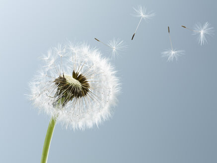 Close up of seeds blowing from dandelion on blue background - CAIF00437