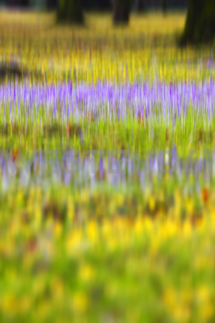 Germany, crocuses and winter aconites, blurred - JTF00939