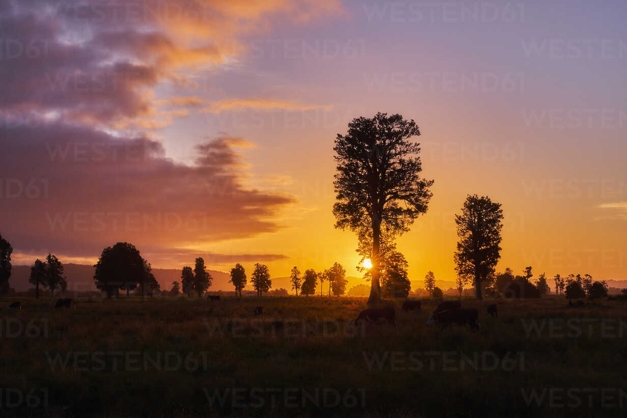 New Zealand, South Island, Westland National Park, cows on meadow at sunset - MRF01798 - Michael Reusse (alt)/Westend61