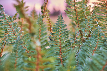 Fern at sunset - MRF01801