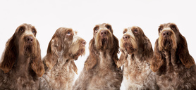 Group of identical dogs sitting together - CAIF01676