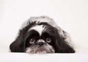 Close up of dog's sad face - CAIF01691