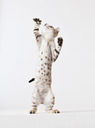 Cat standing on hind legs - CAIF01700