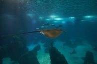 Portugal, Lisbon Oceanarium, Sting ray - MRF01840
