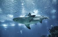 Portugal, Lisbon, Oceanario de Lisboa, aquarium with shark - MRF01846