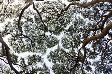 Silhouette of tree canopy - CAIF02133