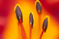 Close up of day lily stamens - CAIF02139
