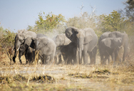 Africa, Namibia, Caprivi, African elephants whirling dust - CVF00221