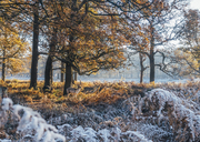 Moose among frost covered autumn woods, Richmond, London - CAIF04150