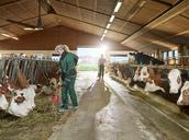 Smiling female farmer feeding cows in stable on a farm - CVF00254