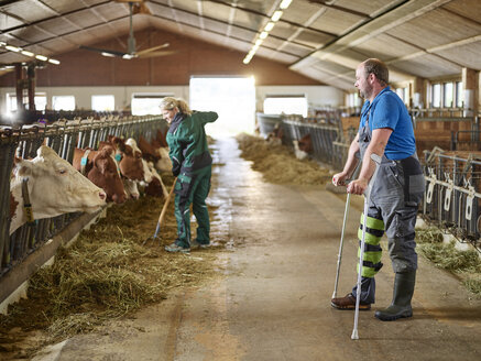 Farmer on crutches watching woman feeding cows in stable on a farm - CVF00257