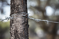 Barbed wire wrapped around tree trunk - CAIF05919