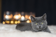 Portrait of Chartreux kitten lying on fur - FOF09969
