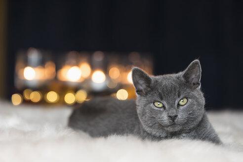Portrait of Chartreux kitten lying on fur - FOF09969