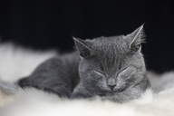 Portrait of sleeping Chartreux kitten lying on fur - FOF09972