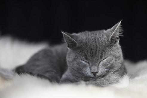 Portrait of sleeping Chartreux kitten lying on fur - FOF09972