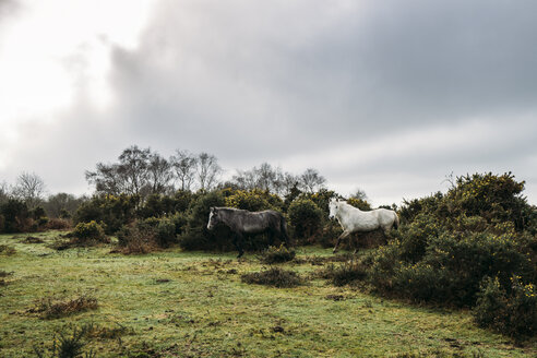 Wild horses walking through bushes into field, New Forest, United Kingdom - CAIF07620