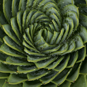 Close up of spiral leaf pattern - CAIF08543