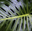 Water droplets on Swiss cheese plant leaf - CAIF08549