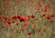 Field of red poppy flowers - CAIF08555