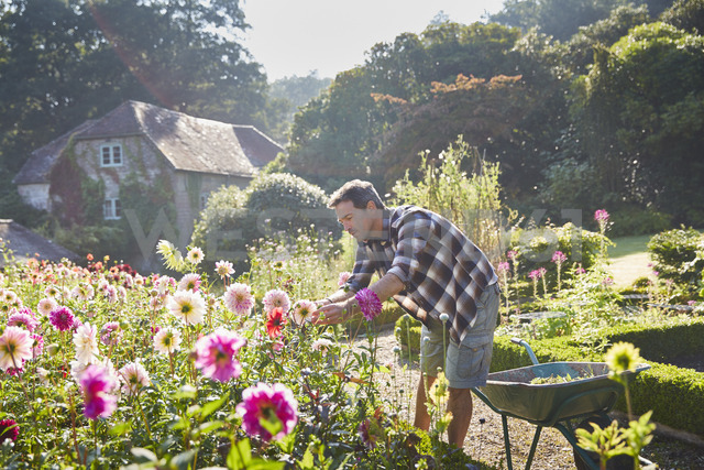 Man pruning flowers in sunny garden - CAIF09155