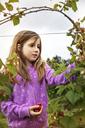 Girl picking raspberries in farm - CAVF04818