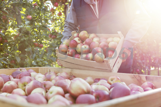 Male farmer emptying fresh harvested red apples into bin in sunny orchard - CAIF09948