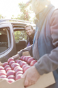 Male farmers loading red apples into car in sunny orchard - CAIF09957