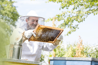 Beekeeper in protective suit examining bees on honeycomb - CAIF13051