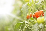 Close up of tomatoes, growing on vines - CAIF16450
