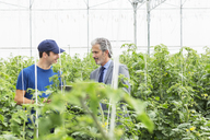 Business owner and worker talking among tomato plants in greenhouse - CAIF16498