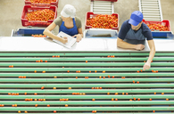 Workers examining tomatoes at conveyor belt in food processing plant - CAIF17614