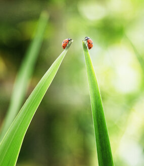 Ladybugs on tips of leaves - CAIF17800